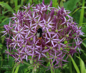 Allium cristophii with visiting bumble bee
