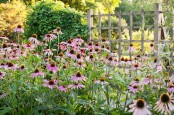 Lingering Echinacea Purpurea in Autum Border
