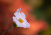 Anemone with red maple background