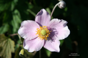 Anemone × hybrida 'Robustissima'