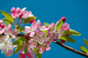Apple Blossom against a Blue Sky