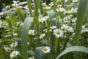 Arundo donax with Leucanthemum vulgare