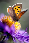 Aster novae-angliae 'Violetta' with Small Copper Butterfly