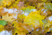 Autumn Leaves in Snow