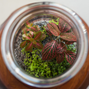 Fittonia in a  Terrarium