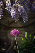 Allium and wisteria for NGS open gardens