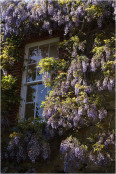 Wisteria on wall