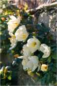 Old garden roses on wall