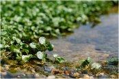 Local watercress in peak season
