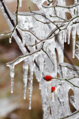 Icicle branches & berries