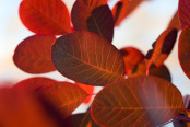 Back-lit Cotinus