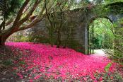 Rhododendron Petal Carpet, Kilmory Castle