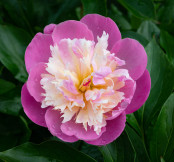 Pink Perfection: Paeonia 'Bowl of Beauty'