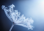 Frosted umbellifer