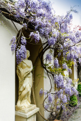 Wisteria in a Romanesqe Garden