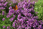 Thymus pulegioides 'Kurt' with comma butterfly