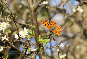 Comma butterfly feeding on nectar on Prunus spinosa