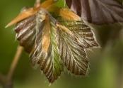 Emerging copper beech