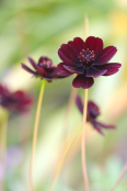 Cosmos atrosanguinea 'Chocolate'
