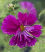 Cosmos bipinnatus 'Fizzy Purple'
