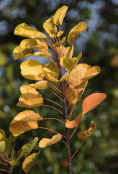 Cotinus coggyria 'Golden Spirit'