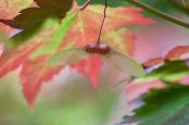 Acer samaras Autumn