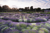 Lavender filling