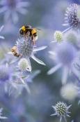 Eryngium planum 'Blaukappe' buzzing!