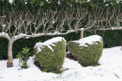 Snowy hens