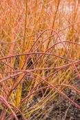 Gingery Rubus phoenicolasius