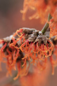 Hamamelis x intermedia 'Gingerbread'