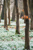 Snowdrop carpet at Welford