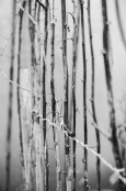 Tied raspberry canes