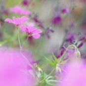 Geranium & Salvia