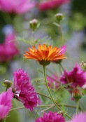 Calendula 'Indian Prince' admidst Cosmos 'Double Click Cranberries'