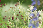 Sanguisorba officinalis with Delphiniums