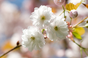 Prunus lannesiana 'Matsumae aisen'