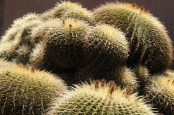 Californian Cacti