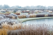 Frosted Grasses