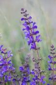 Wild flowers of Monti Sibillini