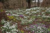Spring Garden at Colesbourne Park