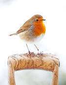 Robin perched on garden fork