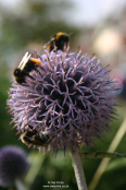 Echinops ritro with feeding bumble bees
