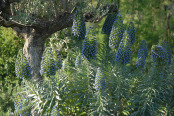 Echium and Olive