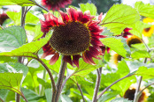 Glowing red Sunflower