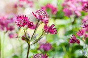 Astrantia 'Ruby Wedding'