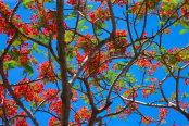 Flamboyant tree Delonix regia