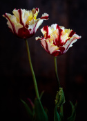 Flaming Parrot tulips