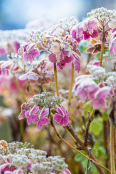 Frosted Hydrangea 'Grayswood'