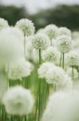 White Allium
